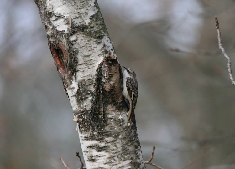 Brown creeper on a tree at Lasalle Park in Burlington, ON