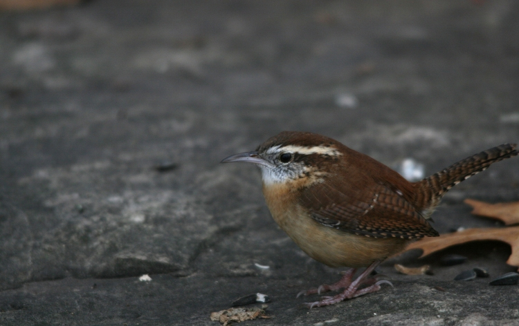 Carolina Wren at Lasalle Park in Burlington, ON
