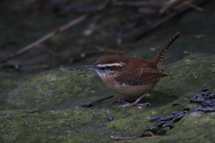 Carolina Wren inspecting sunflower seeds at Lasalle Park in Burlington, ON