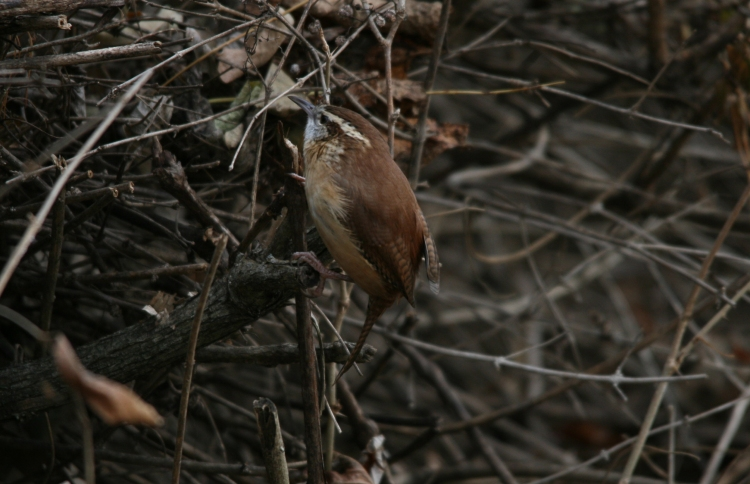 Carolina Wren foraging at Lasalle Park in Burlington, ON