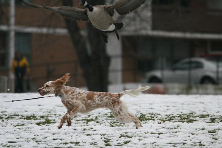 Dog Chasing geese at the Lakeshore in Burlington, ON