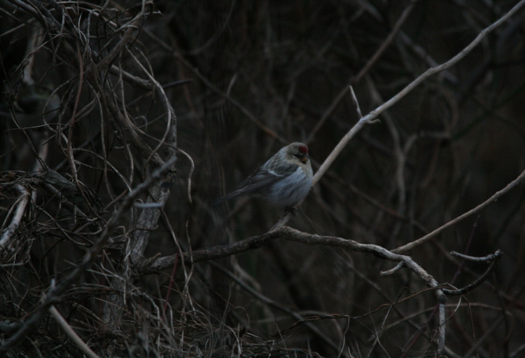 Common Redpoll in a bush at Lasalle Park in Burlington, ON