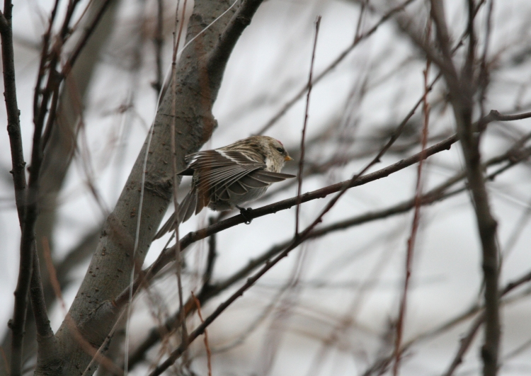 Common Redpoll in a tree at Lasalle Park in Burlington, ON