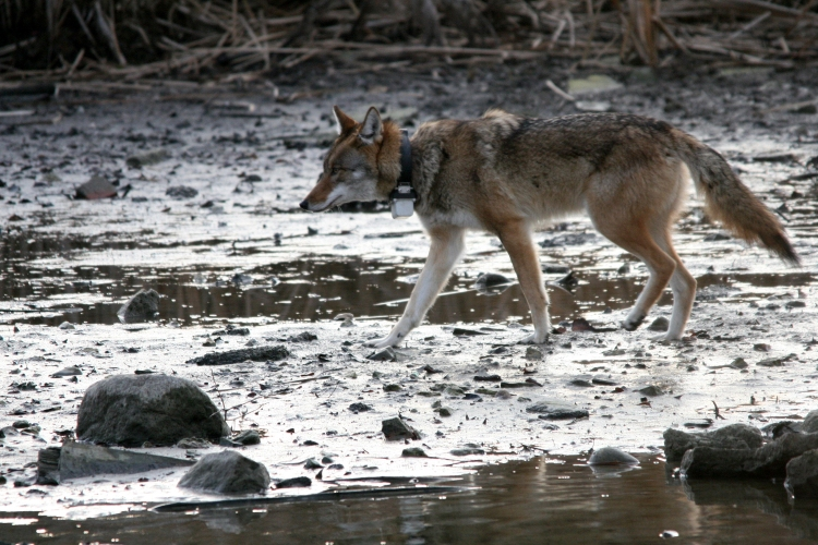 Coyote crossing the pond at Col Sam Smith Park in Toronto, ON