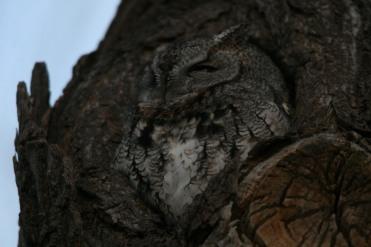 Eastern screech owl half-awake at Lasalle Marina