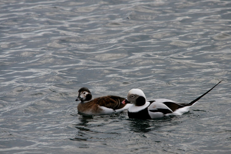 Female and male long-tailed duck at Lift Bridge, Burlington, Ontario