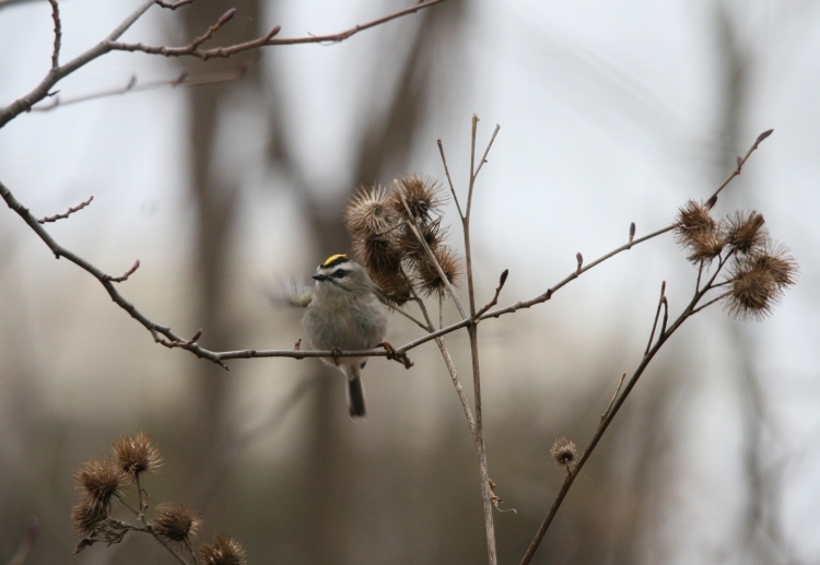 Golden-crowned Kinglet on a branch at Lasalle Park in Burlington, ON