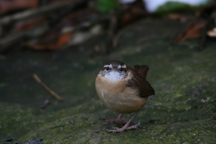 Carolina Wren on a rock at Lasalle Park in Burlington, ON