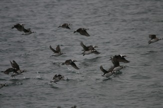 Long-tailed ducks flying by the Travelodge Hotel in Burington, ON