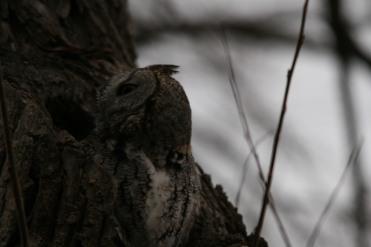 Eastern screech owl looking around at Lasalle Marina