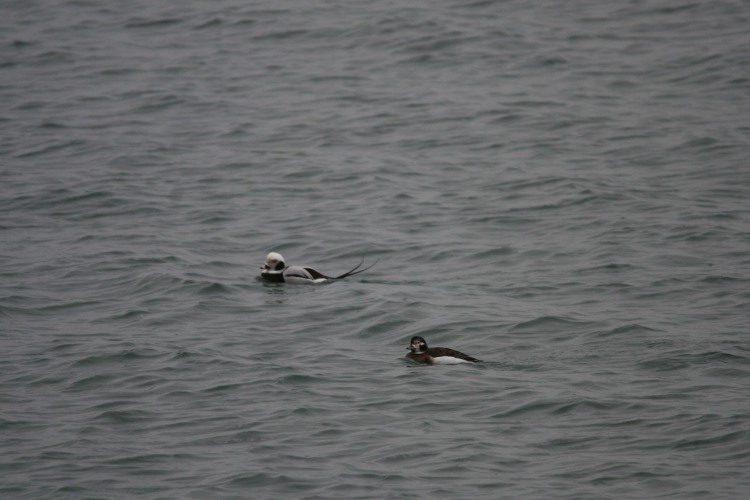 Male and female long-tailed ducks by the Travelodge Hotel in Burington, ON