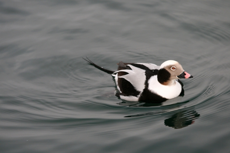 Male long-tailed duck at Ward's Island dock, Toronto