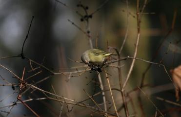 Male orange-crowned warbler at Sedgewick Park in Oakville, ON