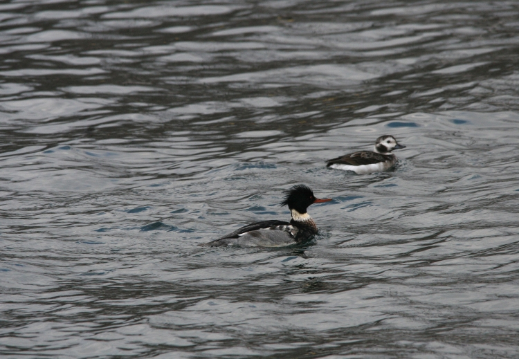Male red-breasted merganser and female long-tailed duck at Lift Bridge, Burlington, Ontario