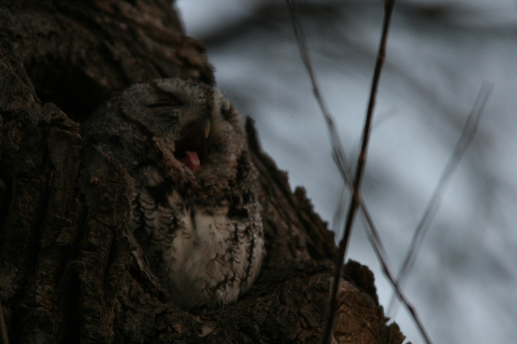 Eastern screech owl mid-yawn at Lasalle Marina