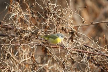 Nashville warbler searching for food at Sedgewick Park in Oakville, ON