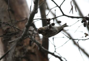 Pine siskin at Lasalle Park in Burlington, ON
