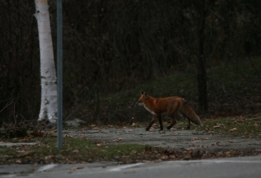 Red fox on the prowl at Lasalle Marina