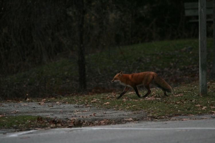 Red fox at Lasalle Marina