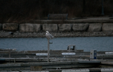 Snowy owl at Colonel Samuel Smith Park in Toronto, ON