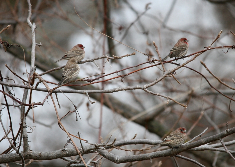 Three male and one female house finch at Sedgewick Park, Oakville