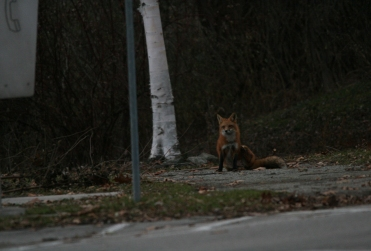 Red fox with wee bit of an itch at Lasalle Marina
