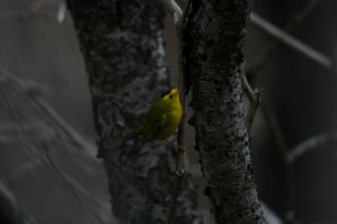 Wilson's warbler at Sedgewick Park in Oakville, ON