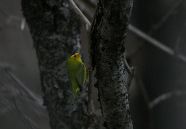 Male Wilson's warbler at Sedgewick Park in Oakville, ON