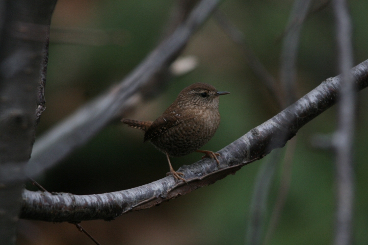 Winter Wren close up at Lasalle Park in Burlington, ON