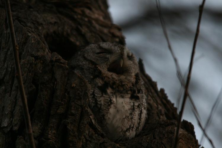 Eastern screech owl yawning at Lasalle Marina
