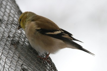 American Goldfinch eating nyger seed at High Park in Toronto, ON