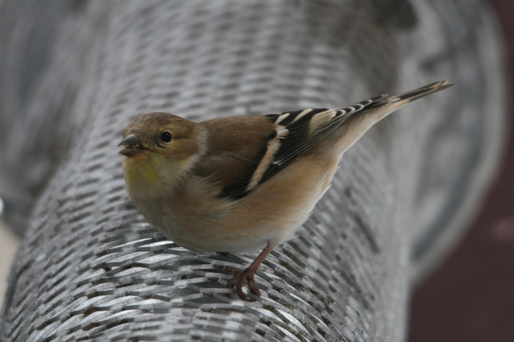American Goldfinch on a nyger feeder at High Park in Toronto, ON