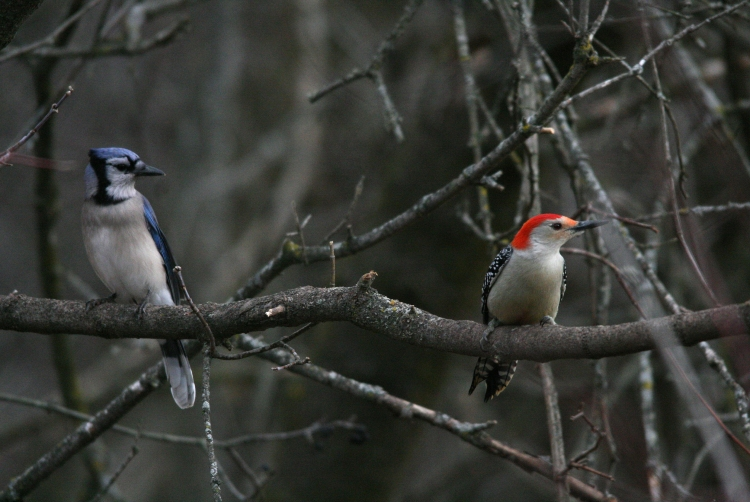 Blue jay and Red-bellied woodpecker at Hendrie Park in Burlington, Ontario in the winter