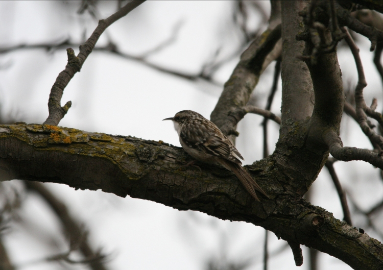 Brown creeper at Hendrie Park in Burlington, Ontario in the winter