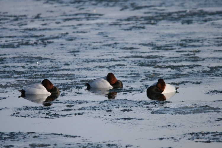 Male Canvasbacks at Lasalle Marina in Burlington, ON in the winter