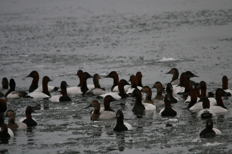 Group of Canvasbacks at Lasalle Marina in Burlington, ON in the winter