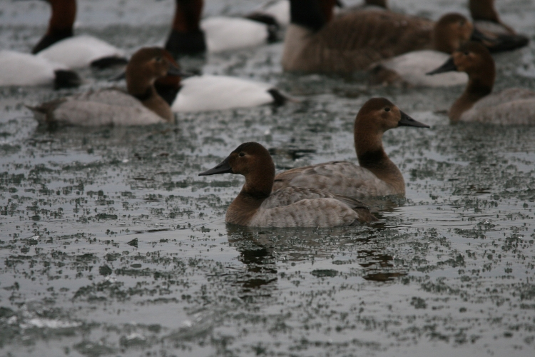 Female Canvasbacks at Lasalle Marina in Burlington, ON in the winter