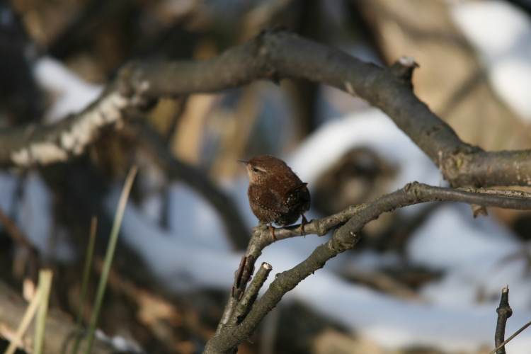Winter Wren at Lasalle Marina in Burlington, ON in the winter