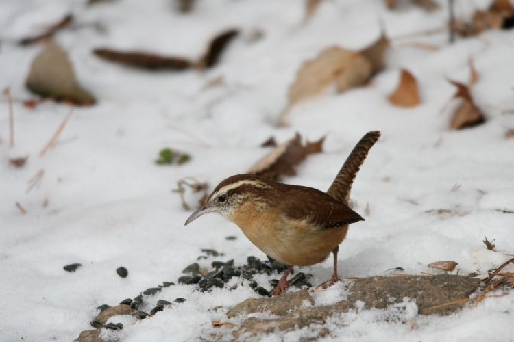 Carolina Wren at Lasalle Marina in Burlington, ON in the winter