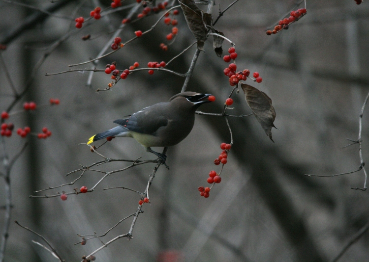 Cedar waxwing at Hendrie Park in Burlington, Ontario in the winter