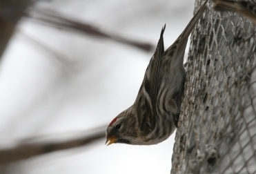 Common Redpoll on nyger feeder at High Park in Toronto, ON