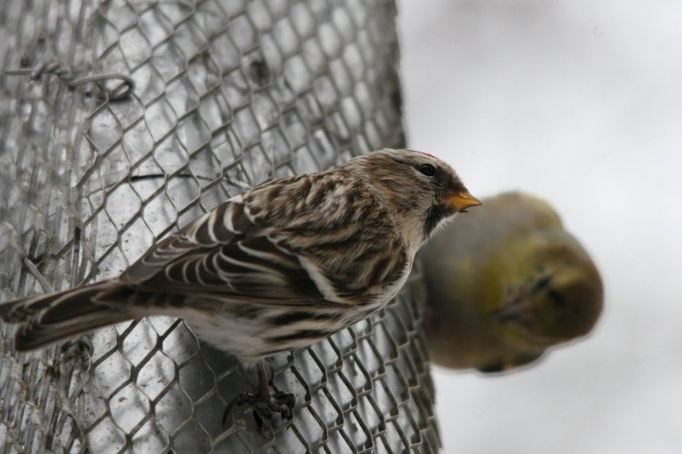 Common Redpoll eating nyger with American Goldfinch at High Park in Toronto, ON