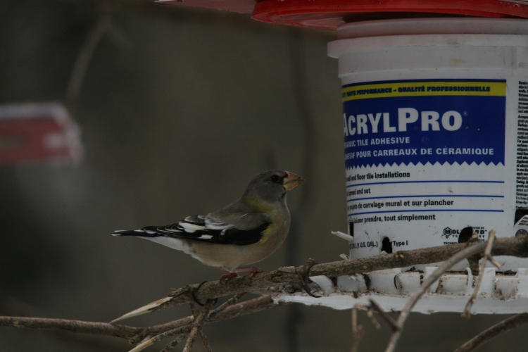 Evening grosbeaks enjoying bounty at feeder at High Park in Toronto, ON