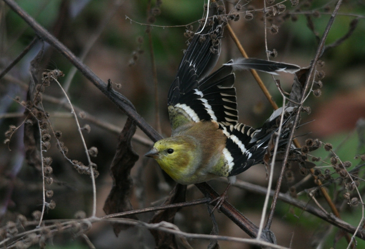 Entangled American goldfinch at Hendrie Park in Burlington, Ontario