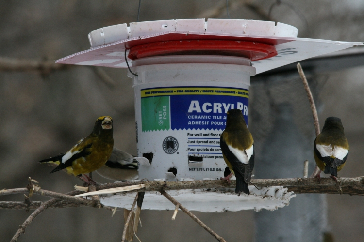 Evening grosbeaks at feeder at High Park in Toronto, ON
