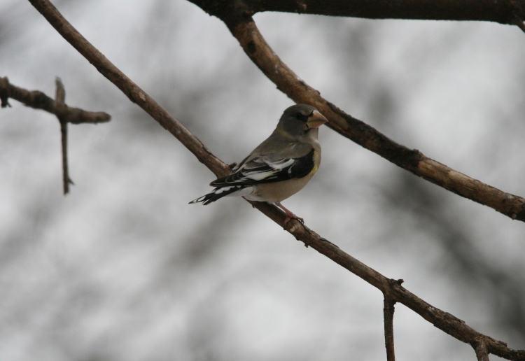 Female-type Evening Grosbeak at High Park in Toronto, ON