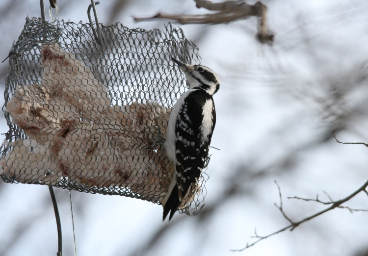 Female Hairy Woodpecker at High Park in Toronto, ON