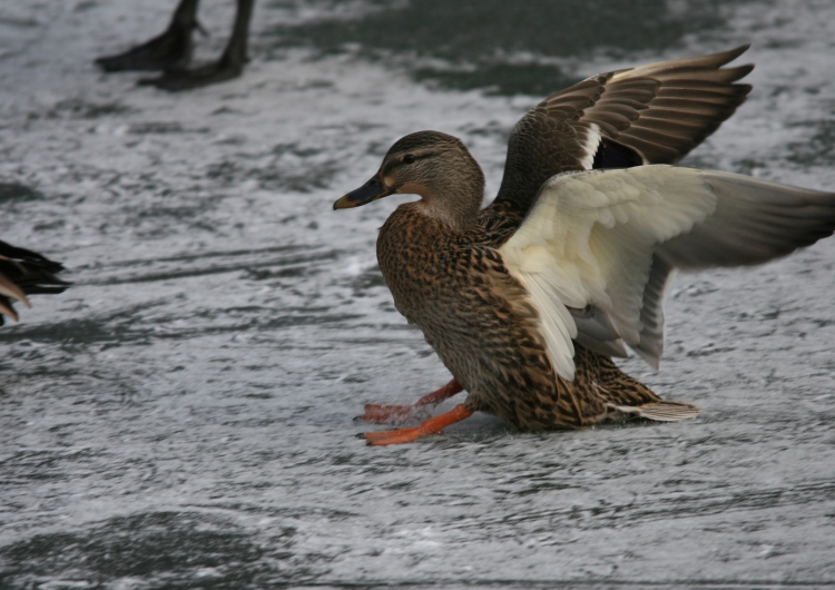 Female Mallard at Lasalle Marina in Burlington, ON