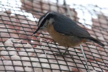 Female Red-Breasted Nuthatch at High Park in Toronto, ON