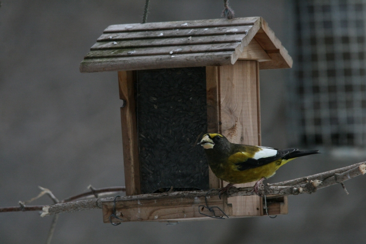 Male evening grosbeak at wooden feeder at High Park in Toronto, ON
